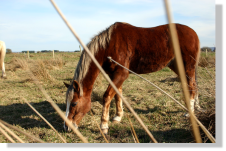 Image of a horse eating grass